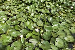 Water lilies - nymphaeaceae or lily pad in Shefield Lake, Uckfield, United Kingdom. Water lilies, nymphaeaceae or lily pad in Shefield Lake - Uckfield, United Royalty Free Stock Photo