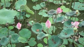 Water Lilies Pink High Definition Stock Footage. Water lilies nymphaeaceae in a lily pond, with a green foliage background high definition stock footage stock video footage