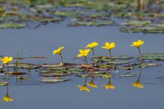 Water lilies Nymphoides peltata on the river in the summer. Water lilies stock image