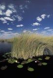Water lilies in Okavango delta, Botswana. Royalty Free Stock Photo