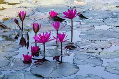 Free Water Lilies On A Pond Royalty Free Stock Photo - 110791395
