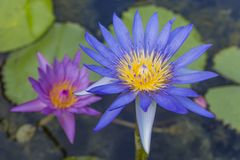 Tropical water lilies. Water lilies one sharp and other blurred Stock Images
