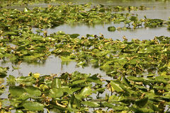 Water lilies and open water of Florida`s Everglades National Par Royalty Free Stock Image