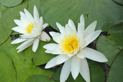 Water-lilies over green leaves on the pond. Stock Photography
