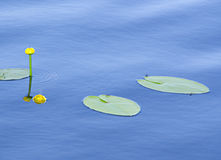 The water lilies Royalty Free Stock Image