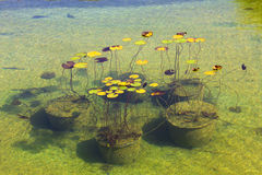 Water lilies in the Park Aivazovsky.Crimea.Partenit Royalty Free Stock Image