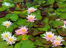 Water Lilies in Pastel Colours Stock Image