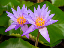 Water Lilies - Peaceful & Tranquil. Two water lilies nestling among the lily pads in the afternoon sun -- a peaceful and tranquil scene royalty free stock photos