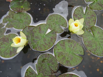 Water Lilies and Pennies. Two water lilies floating above pennies Royalty Free Stock Photography
