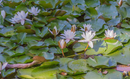 Water lilies blooming Stock Images
