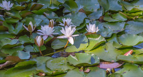 Water lilies(Nymphaeaceae) royalty free stock images