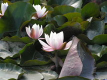 Water lilies Stock Images