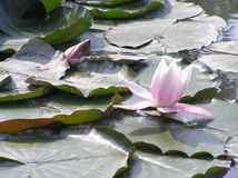Water lilies. Picture of vegetation is taken in Lithuania royalty free stock photo