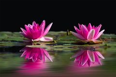 Water Lilies, Pink, Water, Lake Stock Images