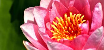 Water Lilies, Pink, White, Summer Stock Photo