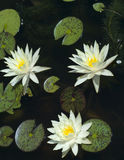 Water lilies in a pond stock images