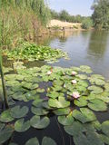 Water lilies. In a pond Royalty Free Stock Image