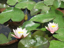 Water lilies. In a pond Royalty Free Stock Images