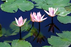 Water lilies in the pond - Bali Asia royalty free stock photography