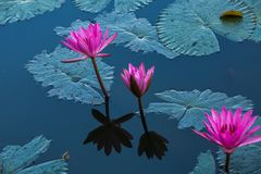 Water lilies on a pond. Beautiful Water lilies on a pond Royalty Free Stock Photos