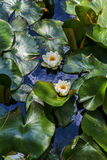 Water lilies in a pond Stock Photos