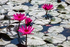 Water lilies on a pond. Beautiful Water lilies on a pond Stock Photography