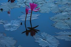 Water lilies on a pond. Beautiful Water lilies on a pond Royalty Free Stock Photo