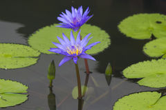 Water-lilies in a pond Stock Photo