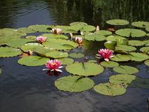 Water lilies on a pond Stock Images