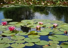 Water lilies on a pond Royalty Free Stock Photography