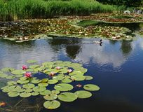 Water lilies on a pond Royalty Free Stock Photos