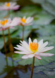 Water lilies on a pond close up. Indonesia, Bali Stock Image