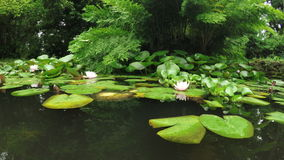 Water lilies in pond. Pond with fish and water lilies on it in botanical park Batumi, Georgia stock video
