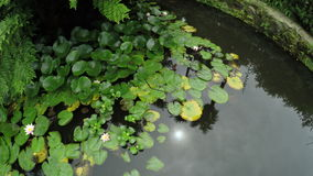 Water lilies in pond stock video footage