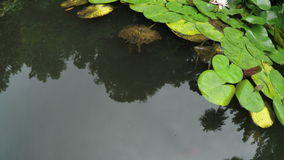 Water lilies in pond. Pond with fish and water lilies on it in botanical park Batumi, Georgia stock footage