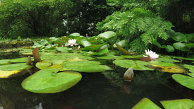 Water lilies in pond. Pond with fish and water lilies on it in botanical park Batumi, Georgia stock video footage