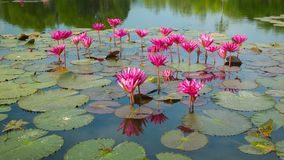 Water lilies on a pond. Flowering period. Thailand stock video footage