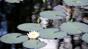 Water lilies stock video