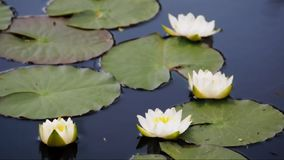 Water lilies stock video footage