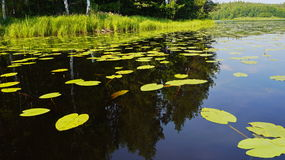 Water lilies in pond Royalty Free Stock Photography