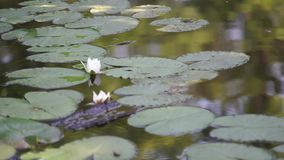 Water lilies on a pond. Many water lilies grow on the pond. Their leaves covered the entire surface of the water. Lilies bloom with white flowers stock video footage