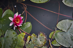 Water lilies in the pond. In the park Royalty Free Stock Photography