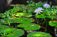 Water Lilies and Pond Stock Photos