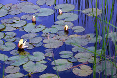 Water lilies in pond with reflection of blue sky Stock Photos