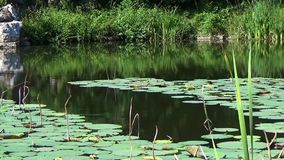 Water lilies pond stock footage