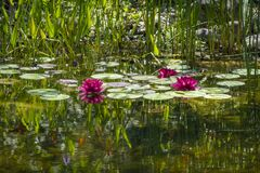 Water lilies on a pond beside the river Leiblach