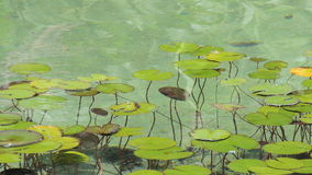 Water lilies in a pond. Water lilies in a pond in Seaside Park City on the southern coast of Crimea, Partenit.  Aquatic plants in clear water Royalty Free Stock Images