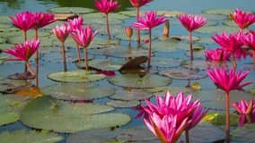 Water lilies in a pond. Shoot with panning. Thailand stock video footage