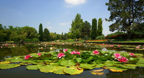 Water Lilies. In a pond in the Sigurtà landscape park in the Italian town of Valeggio on the Mincio River Stock Images