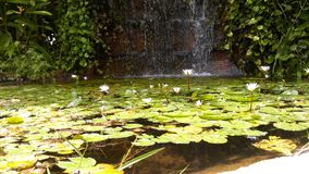 Water lilies pond. A small pond with preciuos water lilies  and waterfall behind Stock Image